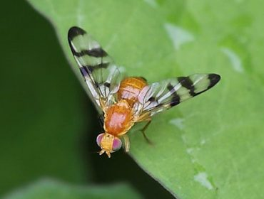 Posible aparición dunha nova praga en Galicia: A mosca da nogueira