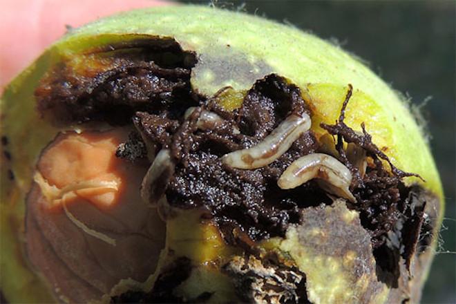Larvas de mosca da nogueira (Rhagoletis completa)