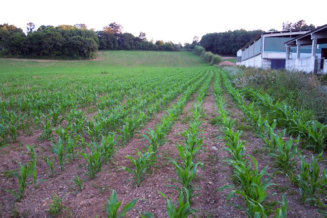 Plantación de millo a carón da explotación