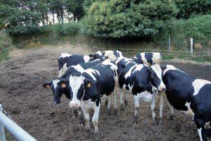 As vacas secas e as xovencas preñadas dispoñen dun patio para poderen saír libremente ao exterior