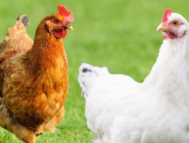 """De Heus presenta unha innovadora ferramenta para deseñar plans de alimentación avícola """"á carta"""""""
