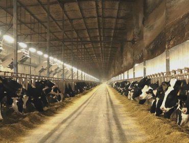 Situación do sector lácteo en China, o país con granxas de 100.000 vacas