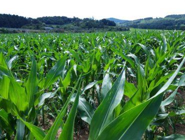 Nergetic Dynamic asegura nunha única aplicación as necesidades de nitróxeno, fósforo e potasio do millo para ensilado