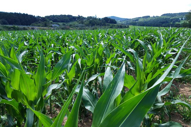 Profertil, o bioestimulante foliar que fortalece o cultivo e aumenta a súa produtividade