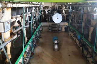 Precísase persoal para traballar nunha explotación de leite en Friol