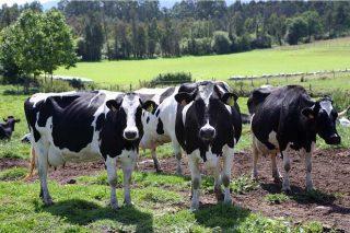 España, entre os países da Unión Europea nos que máis aumenta a produción de leite en 2020