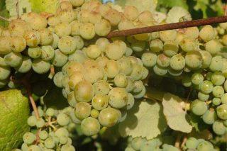 Mellora o estado sanitario do viñedo en Galicia que xa está no peche do acio