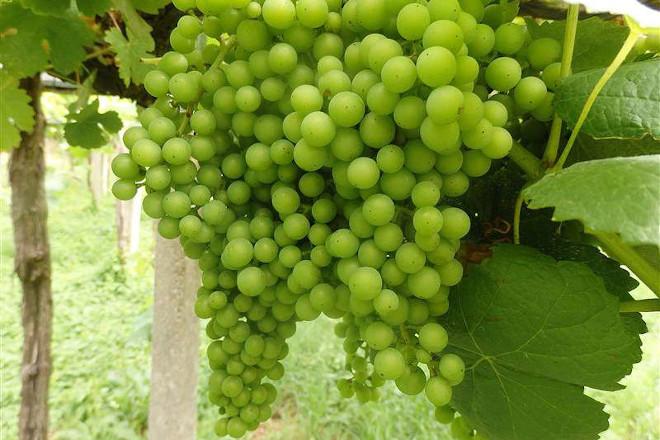 Recomendacións para o coidado da viña durante os proximos días