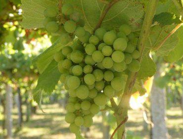 Recomendacións para o coidado da viña durante a próxima semana