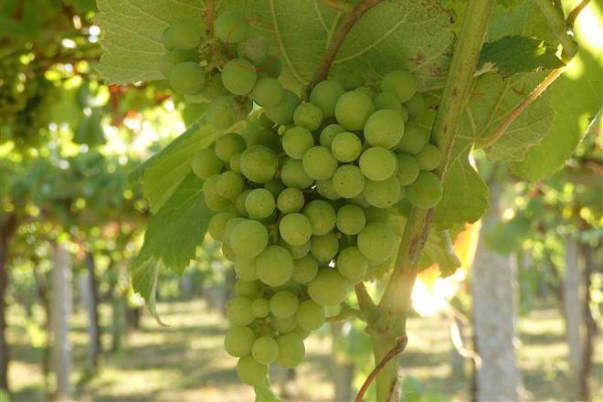 Recomendaciones para el cuidado de la viña durante la próxima semana