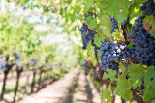 O proxecto CARBOCERT mostra como a viticultura pode contribuír á mitigación do cambio climático