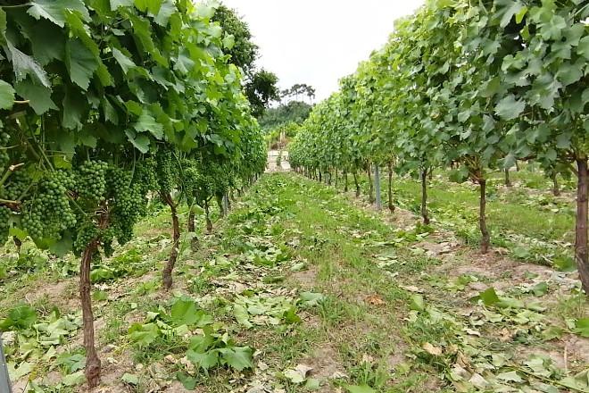 Recomendacións para o esfollado en viñedo