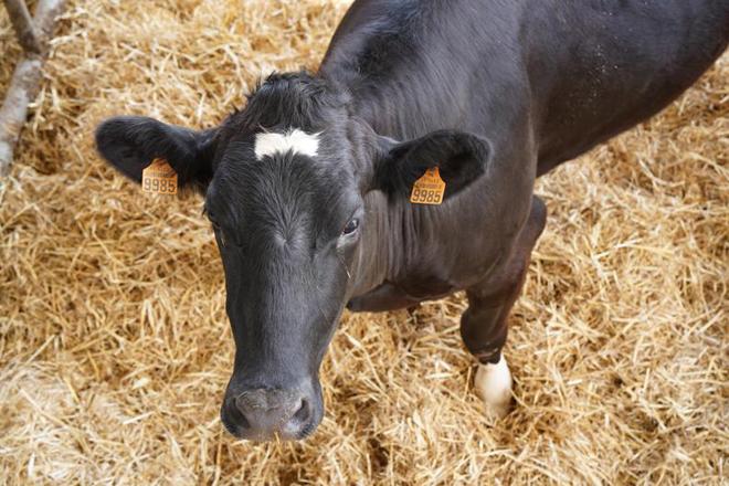 Ganaderia Xuiz vaca na parideira