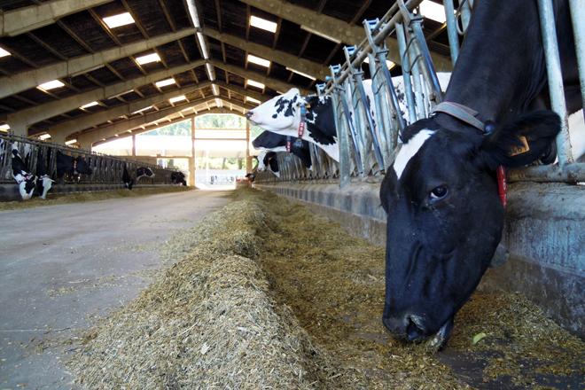 Vacas en produción na gandería Lebón SC de Samos, que emprega a mestura húmida de Aira