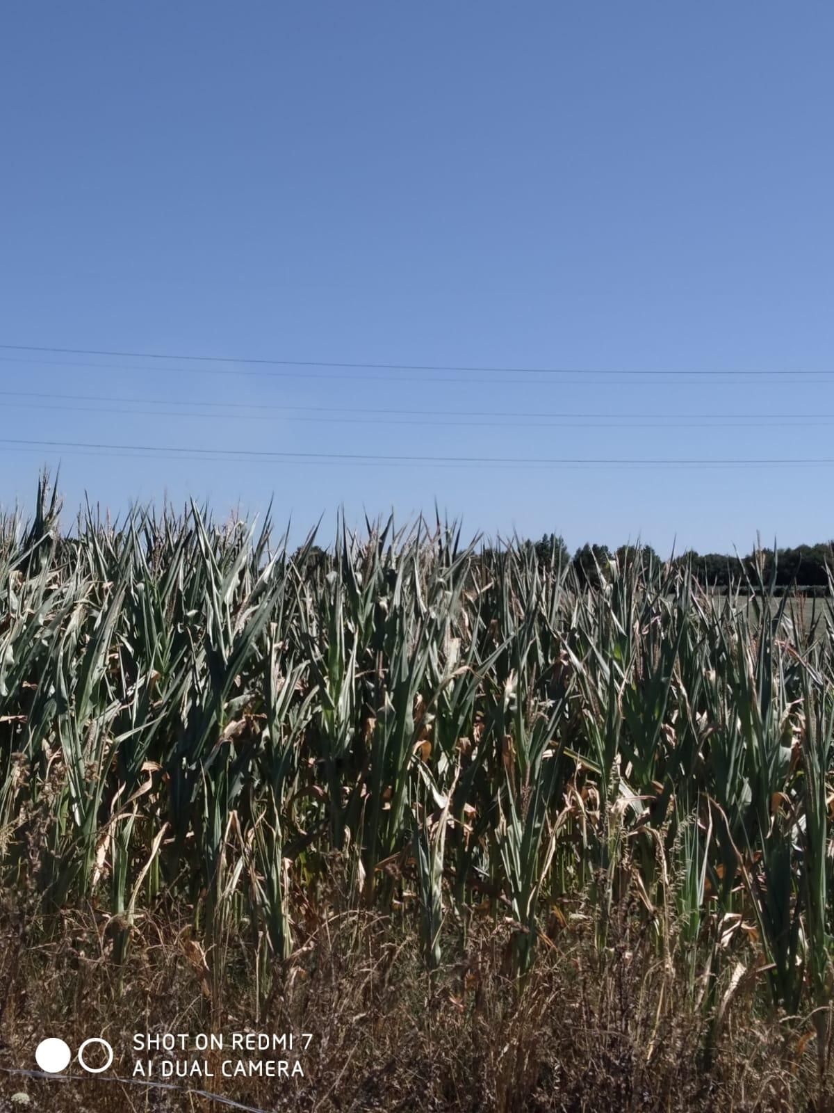 Millo na comarca de Chantada