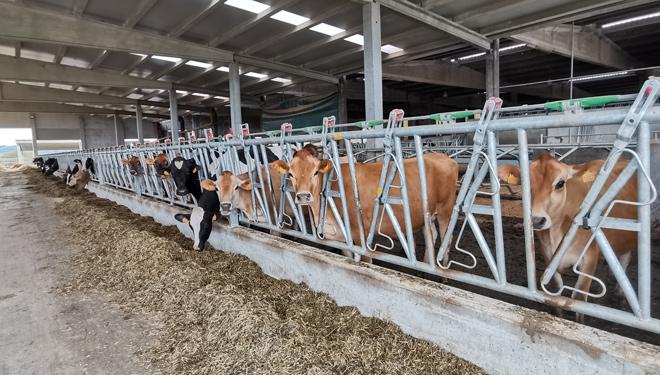 Vacas-Jerseys-SAT-Carballeiras-