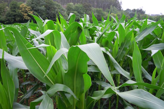 El maíz que se sembró temprano se vio menos afectado por la bajada de temperatura y tiene ya una altura considerable