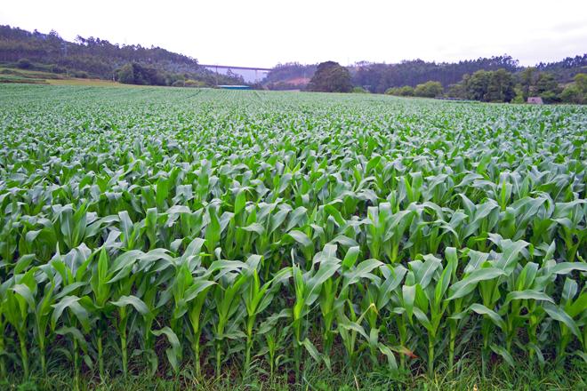 Finca de maíz con un nacimiento uniforme y sin faltas