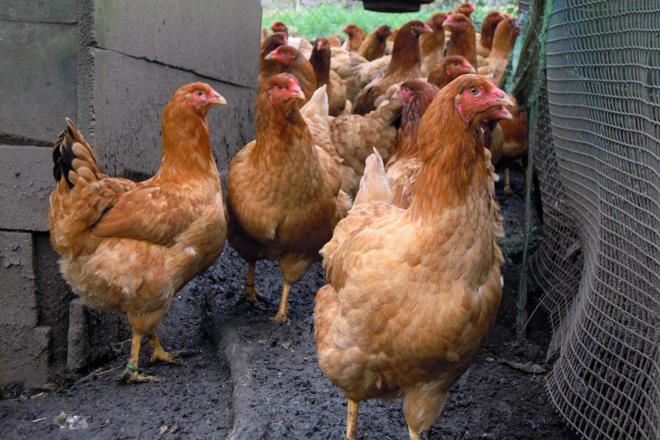 Unha galiña de Mos pon arredor de 200 ovos no ano