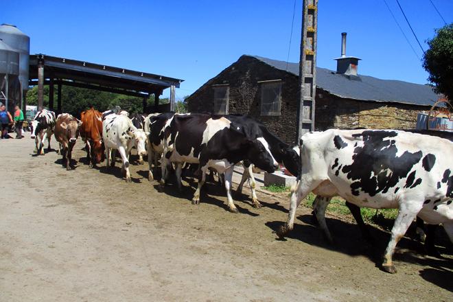 A maioría das vacas son cruces de frisona con jersey e parda alpina
