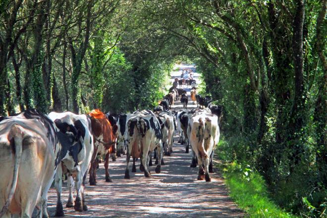 As vacas móvense detrás do tractor e a cisterna que lles subministra a auga nas pradeiras