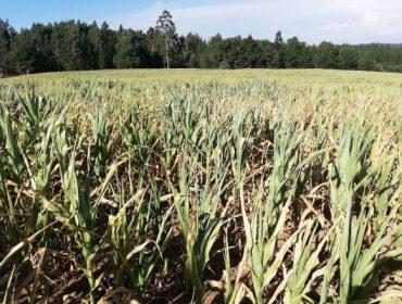 Xornada online sobre estratexias para enfrontar as secas no millo