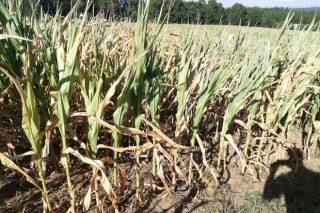 Gran preocupación no agro polas elevadas perdas que provocará a seca na colleita de millo