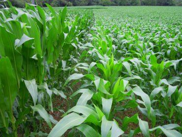 O frío retrasou o medre do millo, con algúns ataques tamén de rosquilla