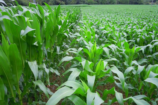O frío de xuño retrasou o medre do millo, con algúns ataques tamén de rosquilla