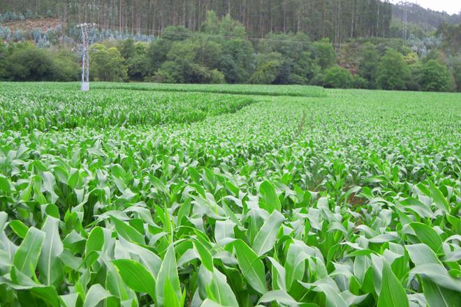 Diferencia de crecimiento entre maíz sembrado temprado y más tardío en fincas de la comarca de A Mariña