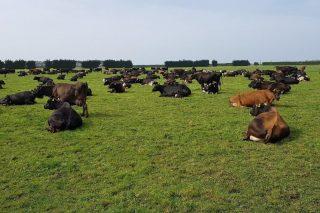 Xestión do pasto en Nova Zelanda, o país cos costes de produción do leite máis baixos