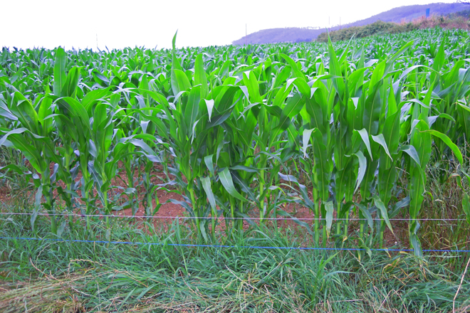 Cerca eléctrica instalada en una finca de maíz para evitar la entrada del jabalí