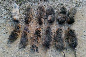 Exemplares de rata-toupa