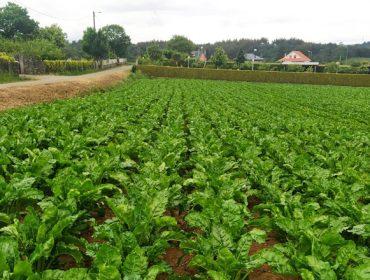 Podería ser o cultivo de remolacha unha alternativa en Galicia?