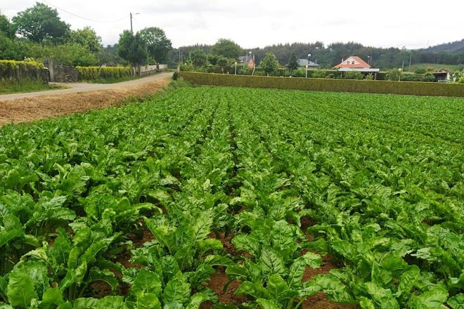 Campo de remolacha plantado este ano na gandería Mosquera Vaamonde SC en Ordes