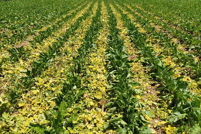 Efecto do herbicida sobre a nova variedade de remolacha resistente