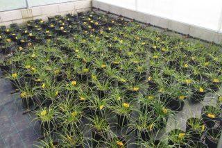 O CIAM patenta un sistema para a multiplicación de sementes en microinvernadoiros illados