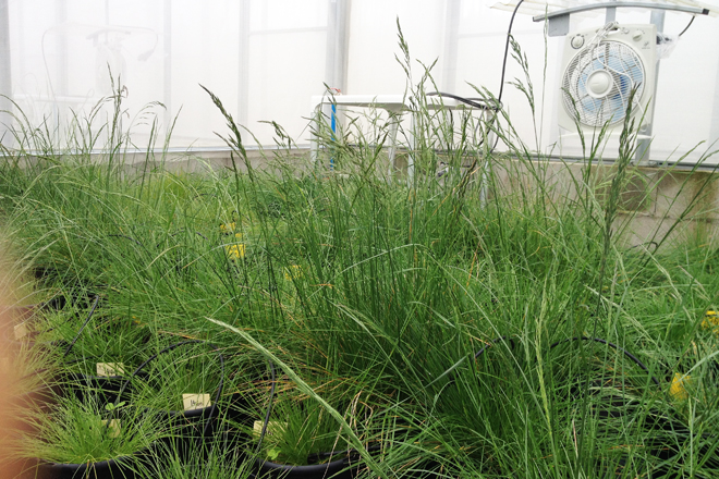 A polinización realízase con ventiladores para as especies que se polinizan co vento
