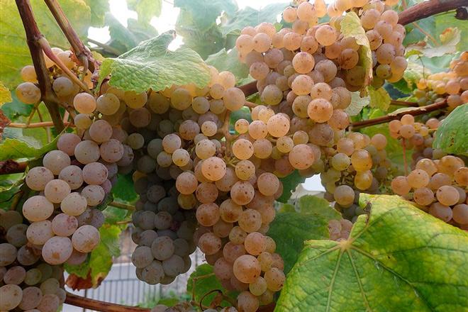 Areeiro conclúe as revisións previas á vendima ante o bo estado fitosanitario do viñedo