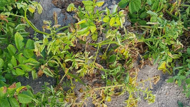 Plantas-de-pataca-afectas-por-seca-