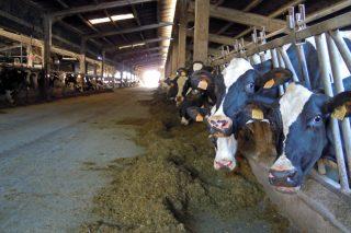 Resultados oficiais das mellores ganderías de vacún de leite de Galicia no 2020