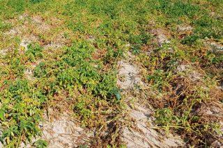 Que variedades de pataca resisten mellor fronte ó cambio climático?