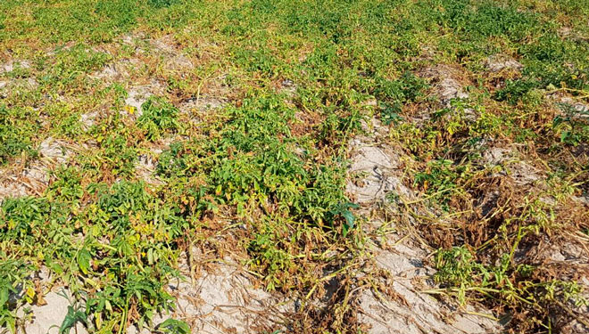 ¿Qué variedades de patata resisten mejor frente al cambio climático?