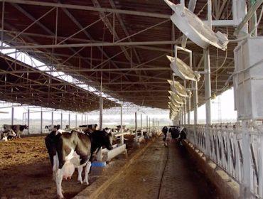 Así se controla o estrés por calor das vacas nas granxas de Israel