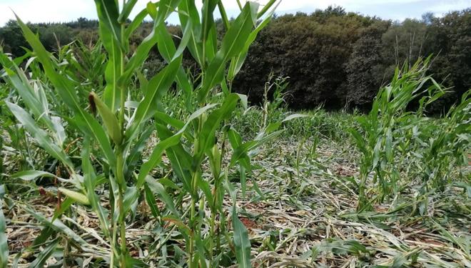 O xabarín intensifica os estragos nas semanas previas ó ensilado do millo