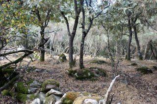 Los animales mantienen el monte limpio bajo el arbolado.