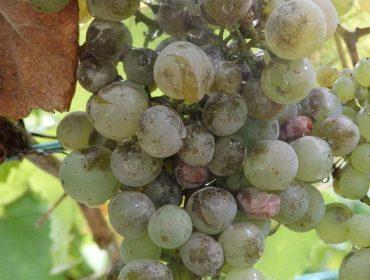 Areeiro recomenda valorar un tratamento contra o oídio nas viñas