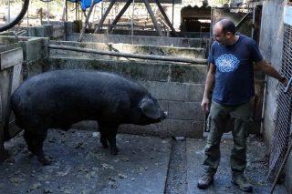 Lourida, unha granxa pioneira de porco celta