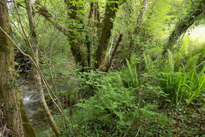 Rexeneración de bosque de ribeira.