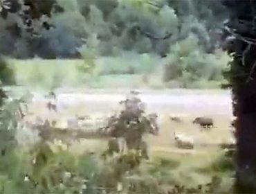 Sorpresa polo ataque do xabarín a unha ovella no País Vasco